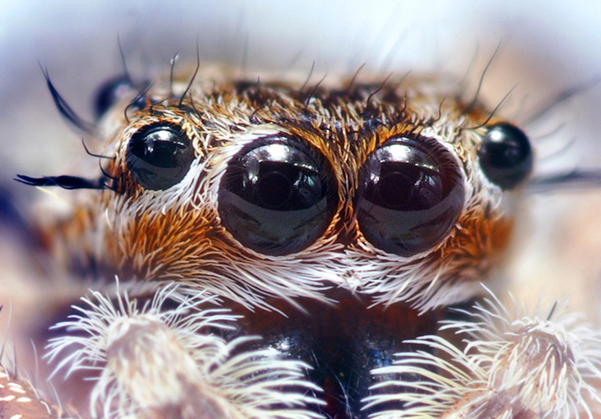 The liquid looking eyes of a jumping spider.