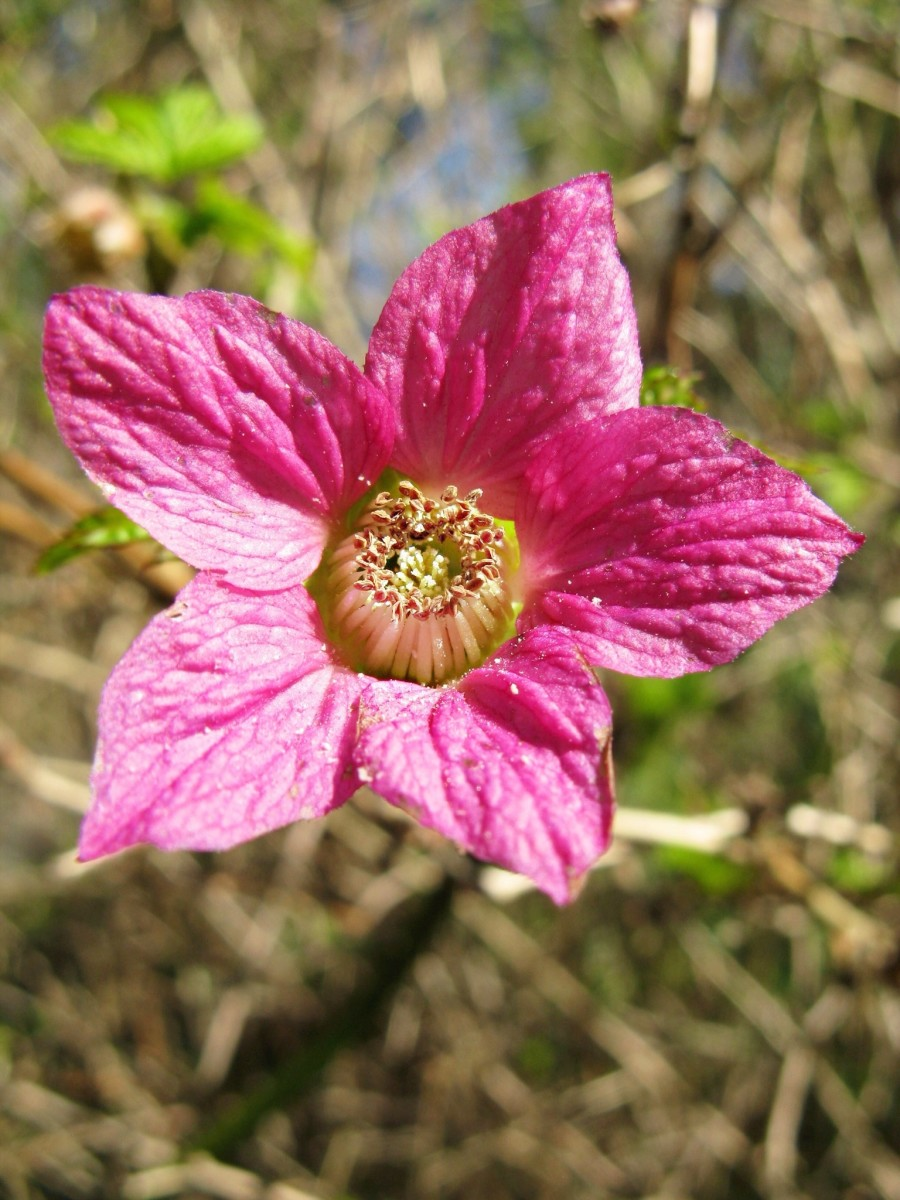 A salmonberry flower