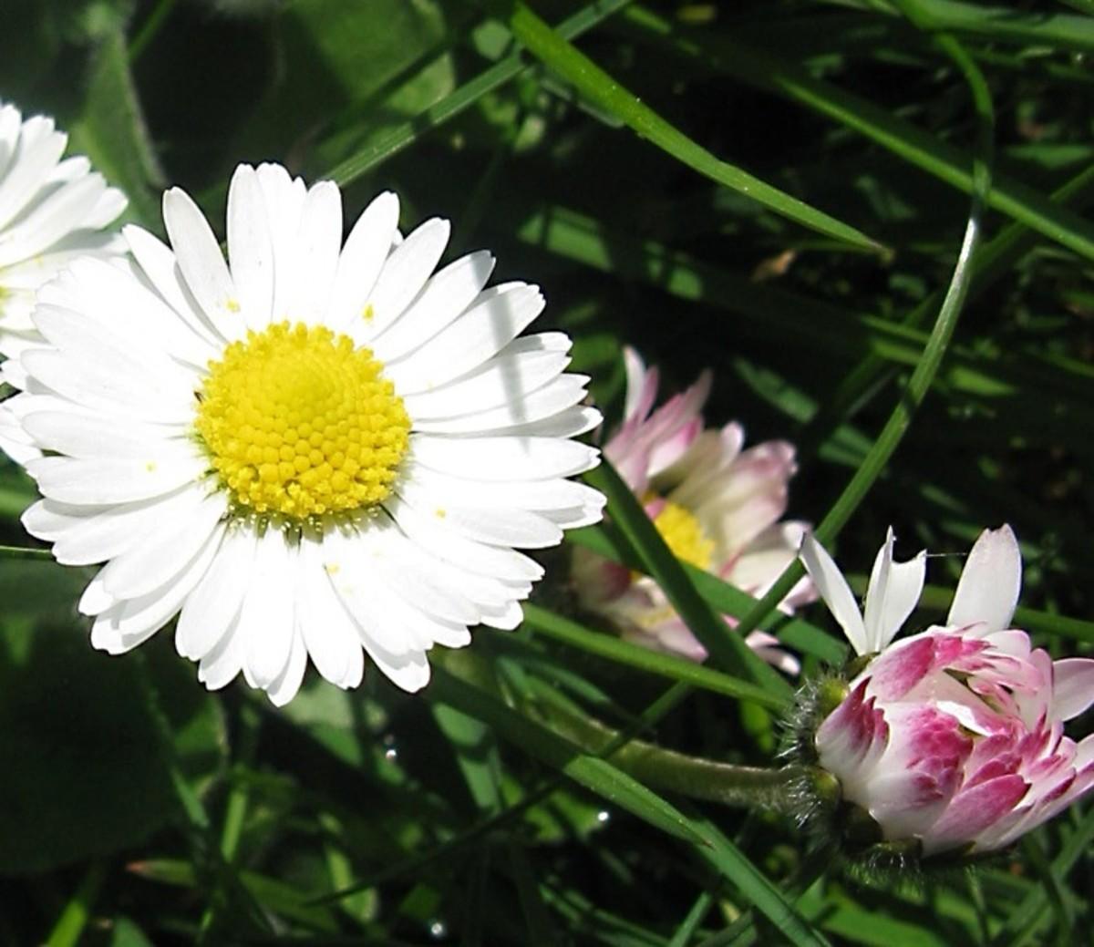 A daisy in sunlight