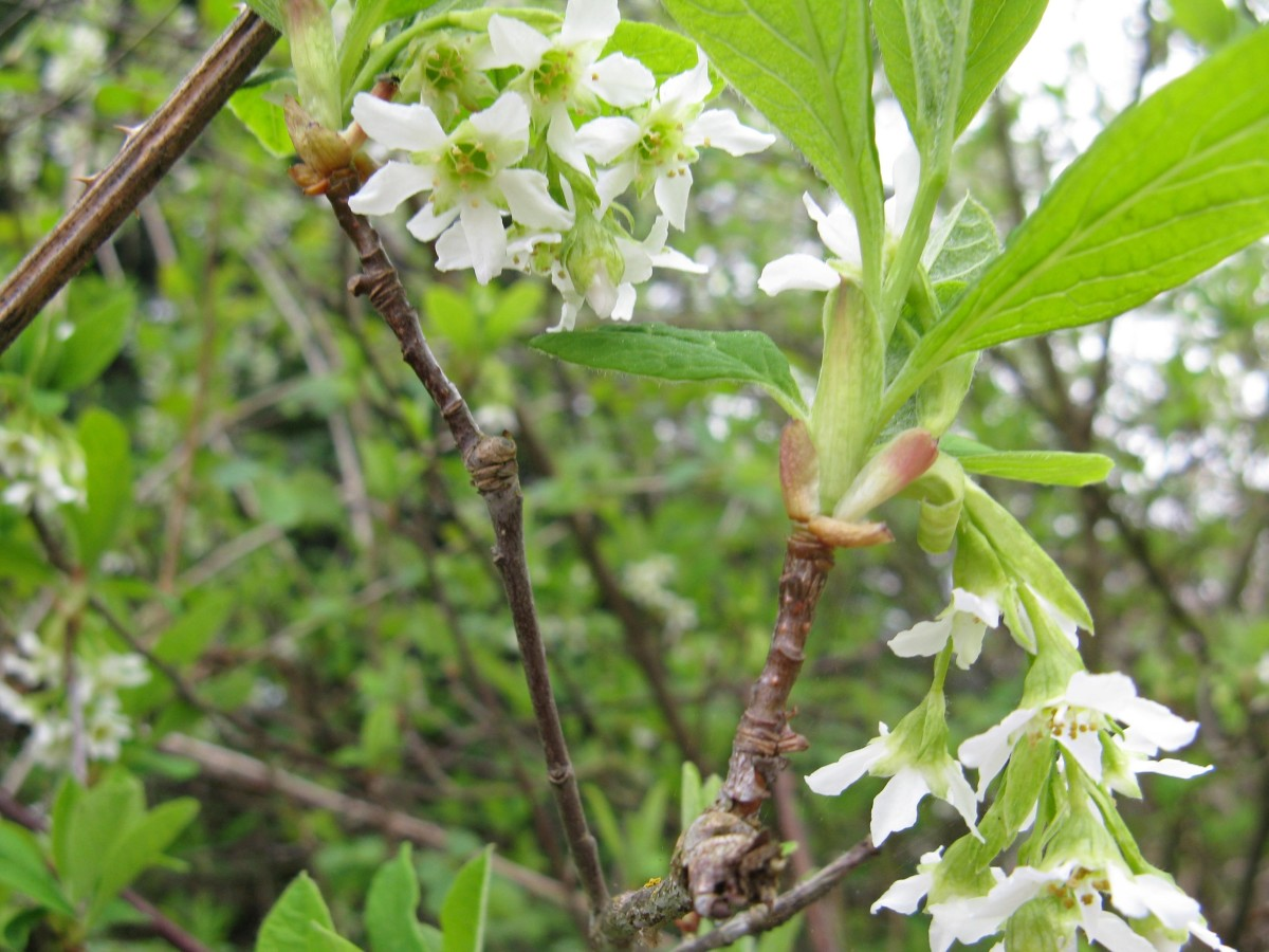 The Indian plum or osoberry plant