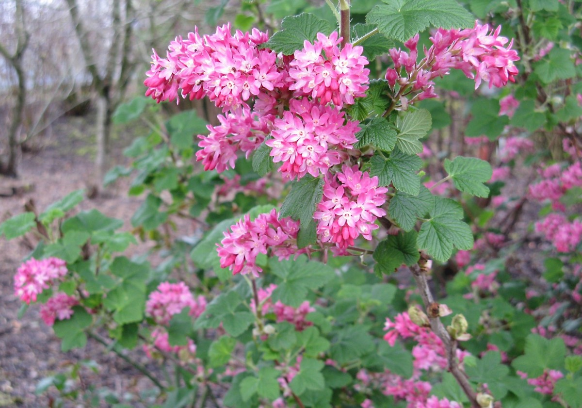 A cultivar of flowering currant used as an ornamental plant