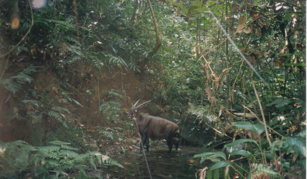 Wild saola camera-trapped in Bolikhamxay Province, central Laos in 1999. © William Robichaud.