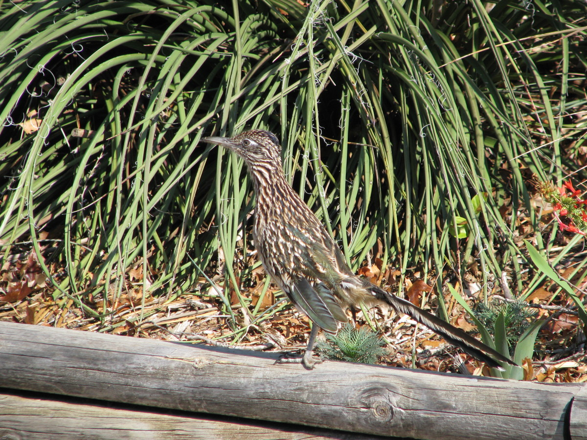Greater roadrunner juvenille.