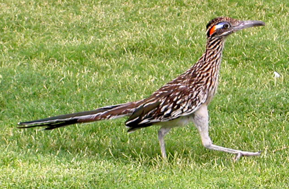 Female Roadrunner with red and blue eye patch