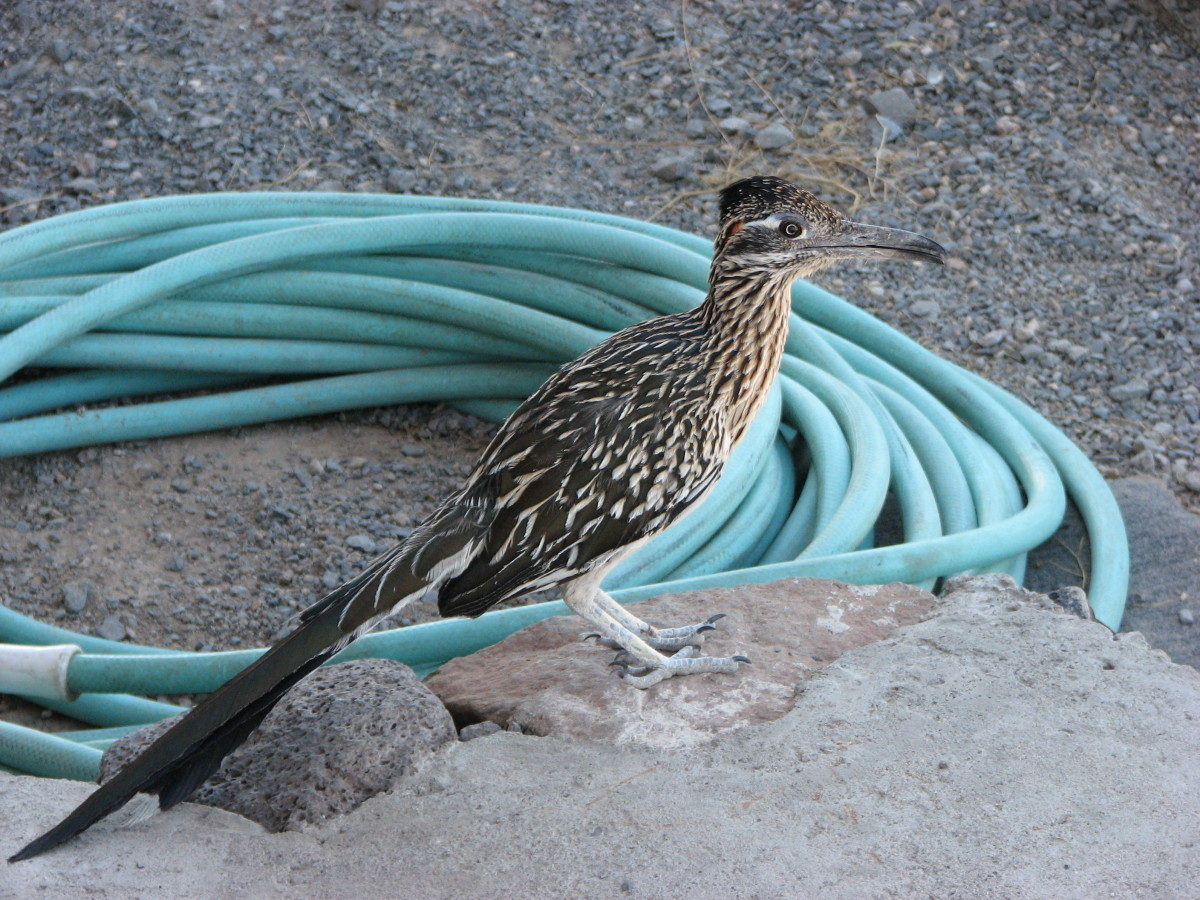 Greater Roadrunner.  Notice 4 toed feet.