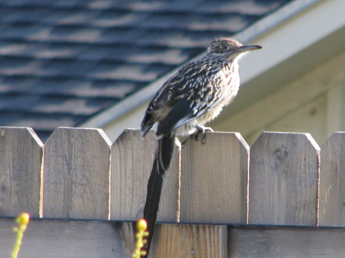 Roadrunner fluffed with black back exposed to sun to warm up.