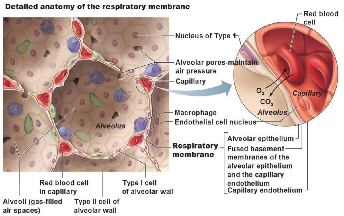 non-respiratory-functions-of-the-respiratory-system
