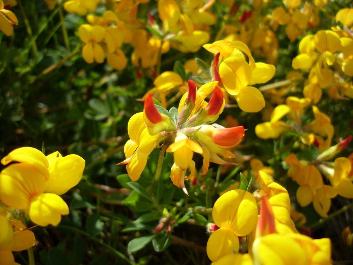 List of Rare and Endangered Indian Plants | Owlcation