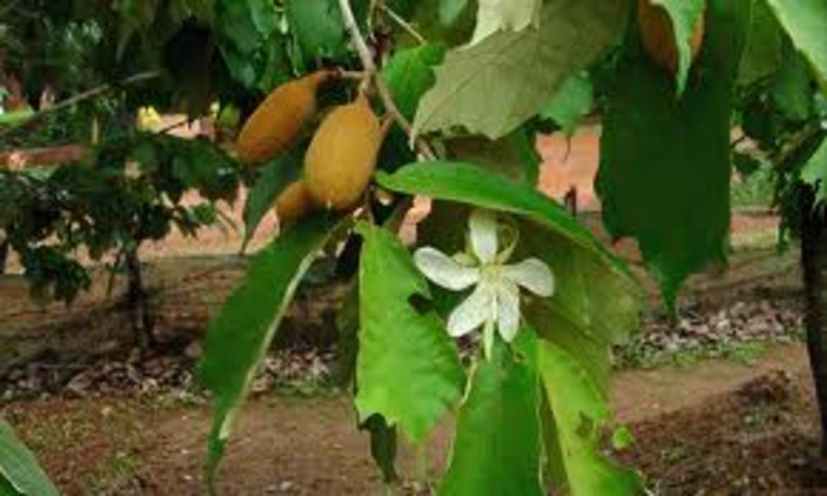Pterospermum reticulatum