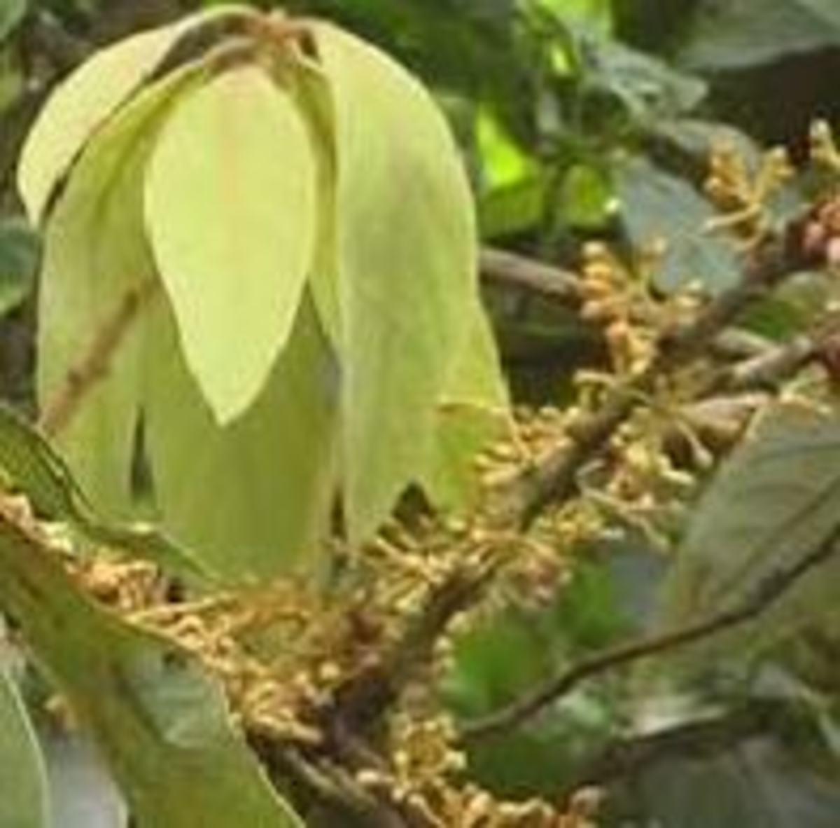 Actinodaphne