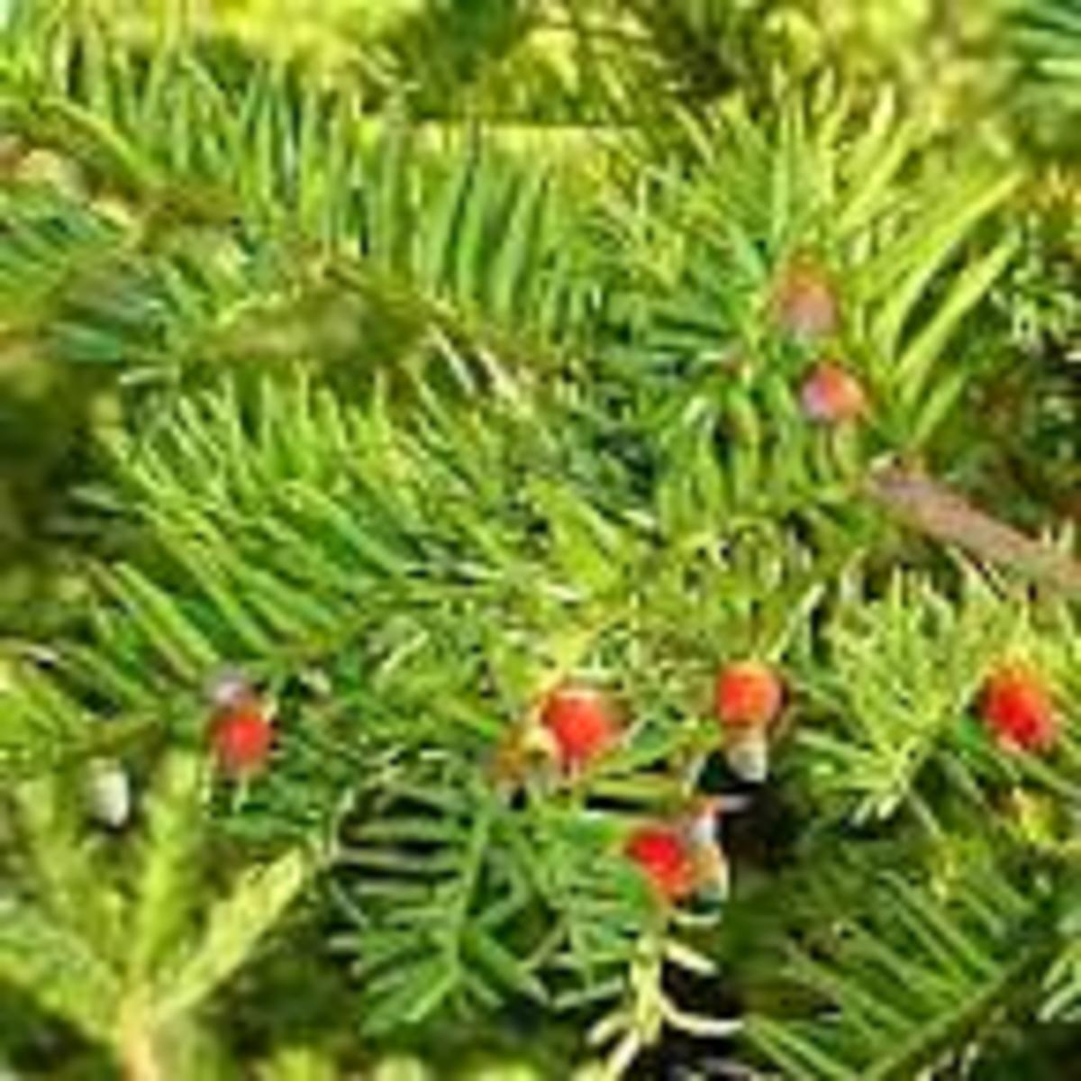 Amentotaxus assamica