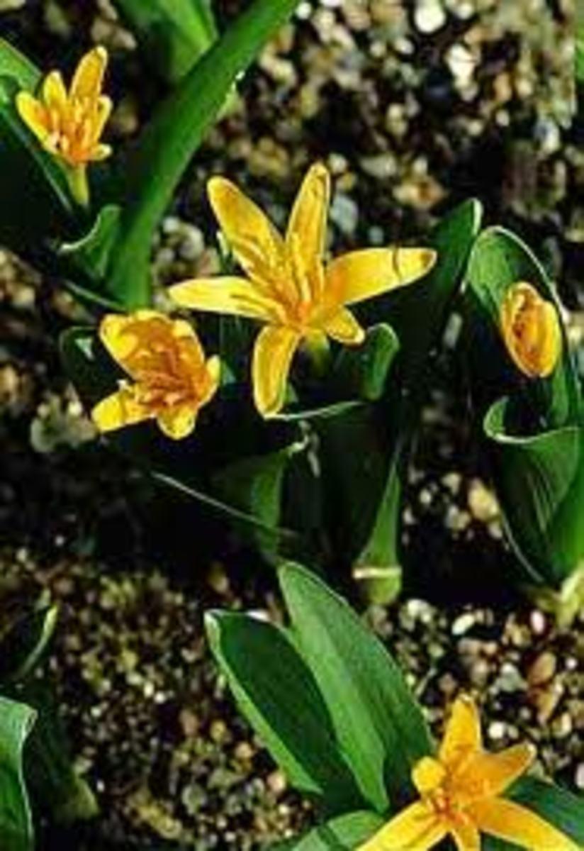 Colchicum luteum