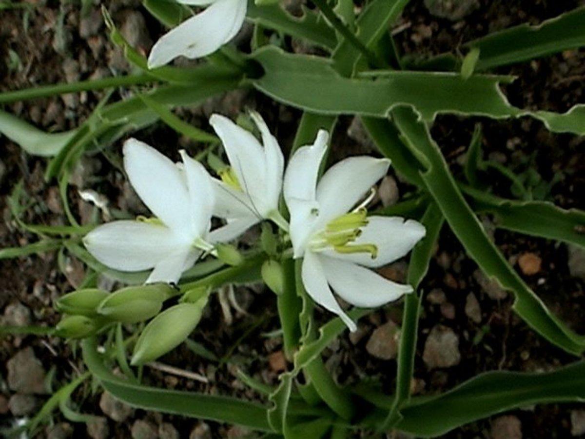 Chlorophytum tuberosum