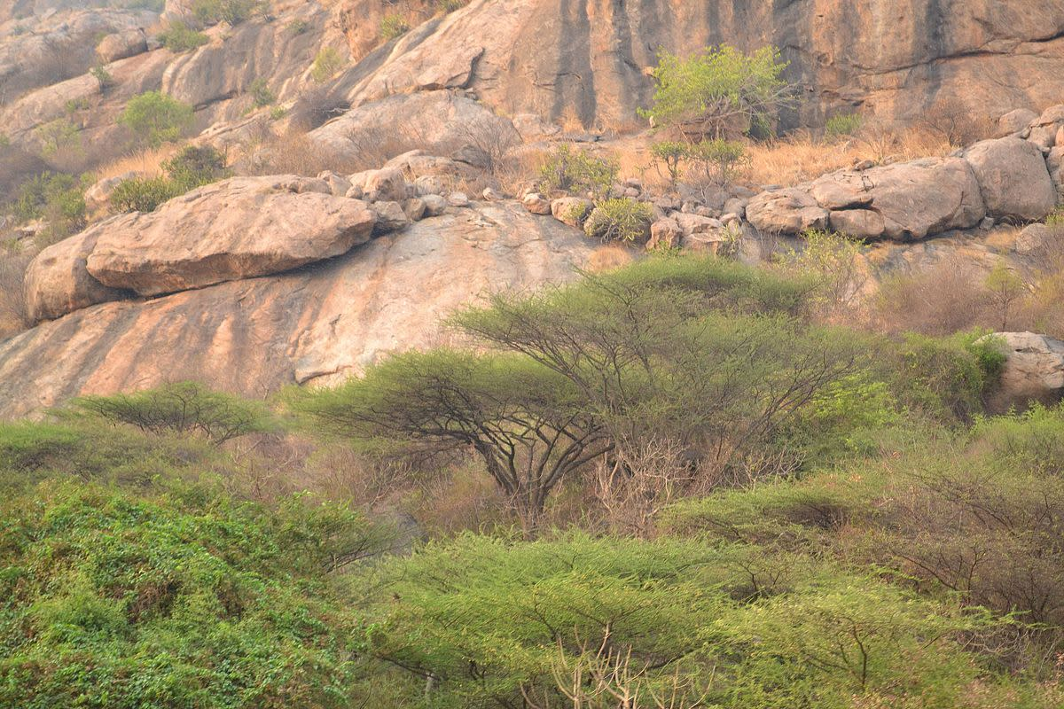 Acacia planifron