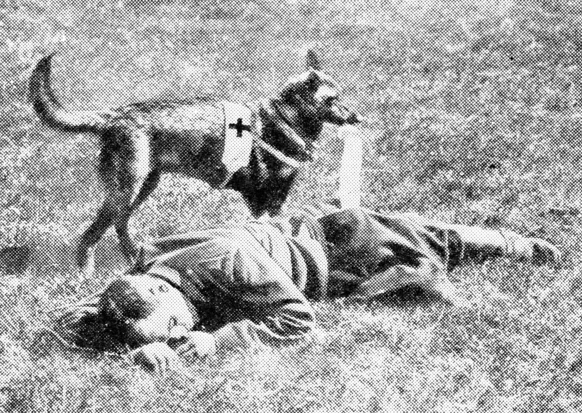 One of the four-footed friends of the French soldiers approaching a wounded man with a bandage in its mouth. Like the famous dogs of St. Bernard, these Red Cross animals have proved of infinite benefit to wounded and suffering humanity.