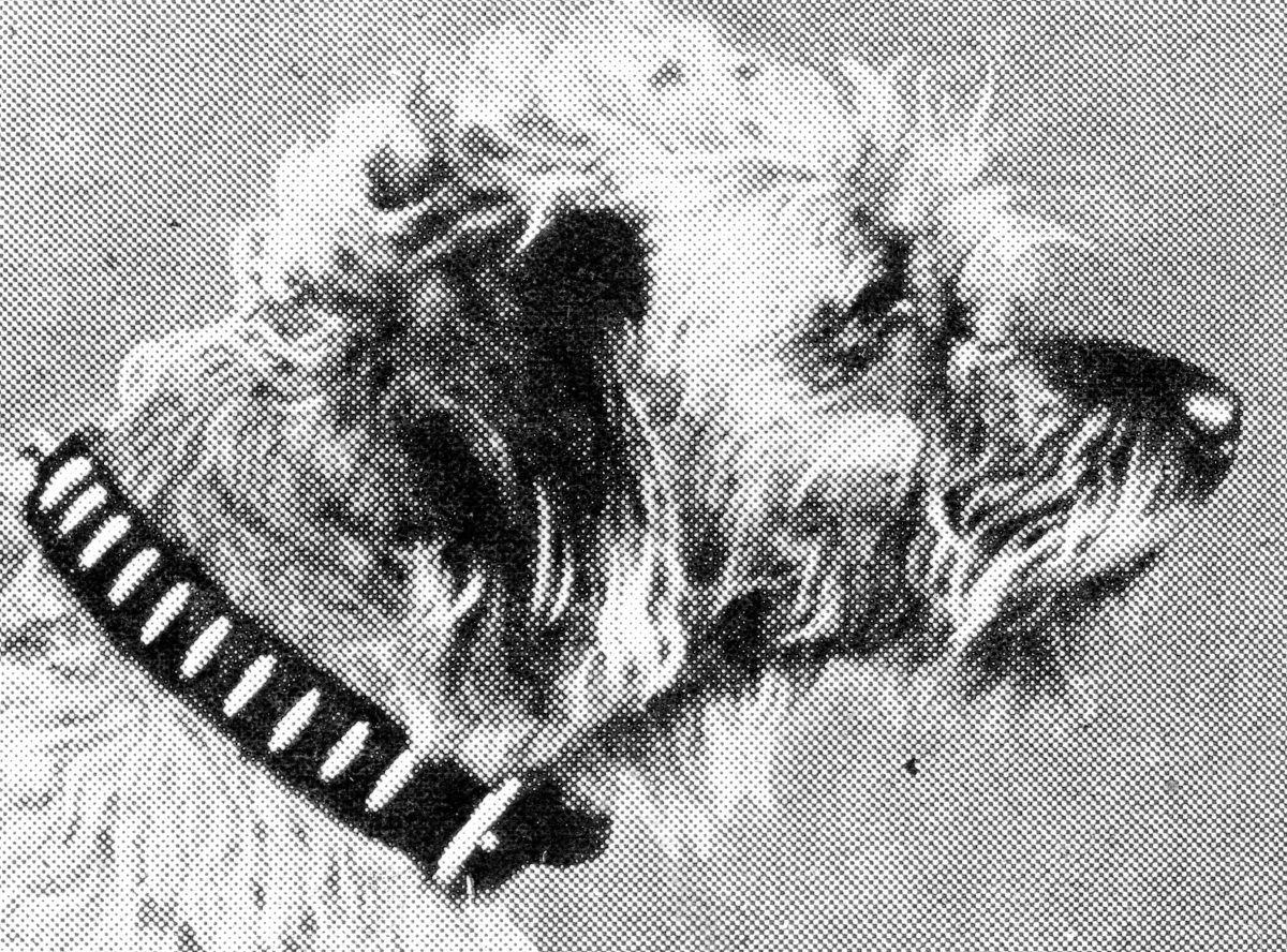 """""""Laustic"""", one of the splendid war dogs which won the """" Collier d'Honneur."""""""