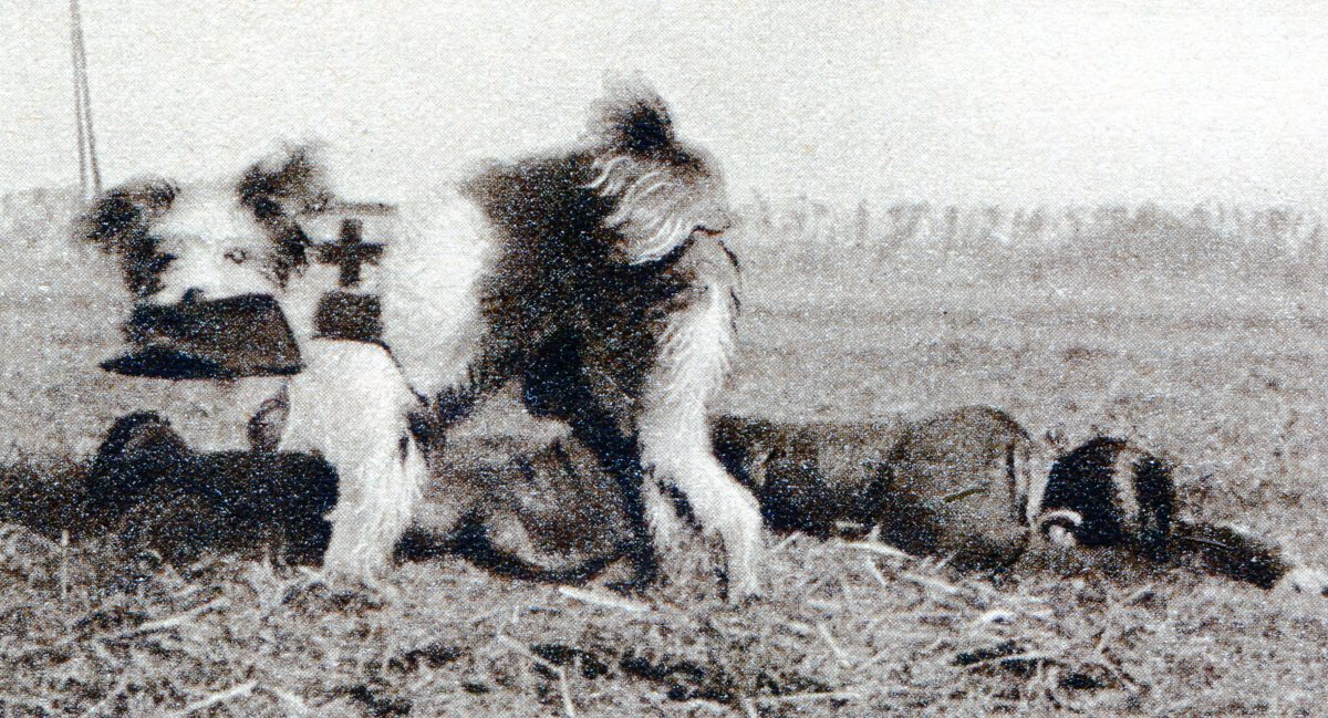 Dog taking a kepi from a wounded soldier back to get the stretcher-bearer.
