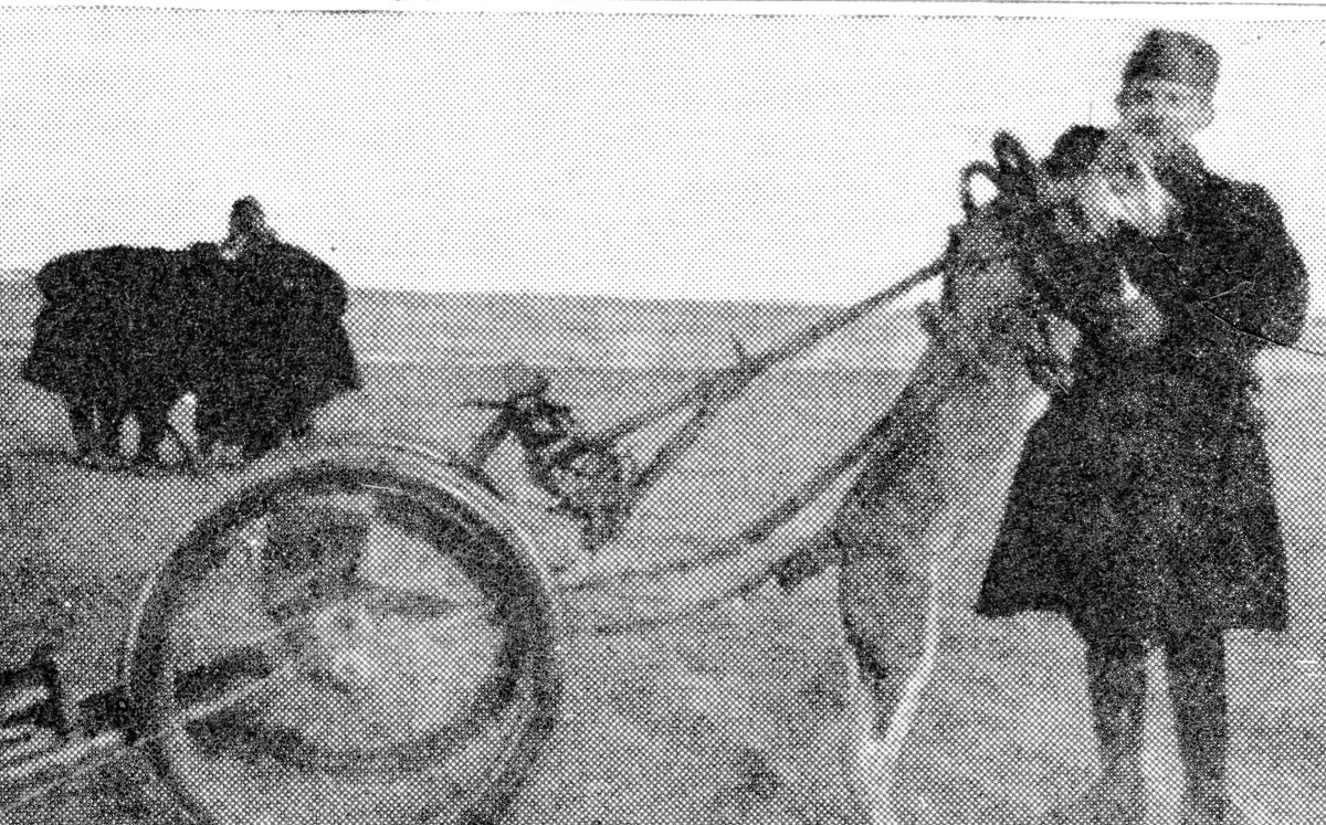 The Belgian soldiers were very attached to the dogs which drew their mitrailleuse guns. Here is shown the sole remaining animal with the 14th Company, which helped in the defence of the coast.