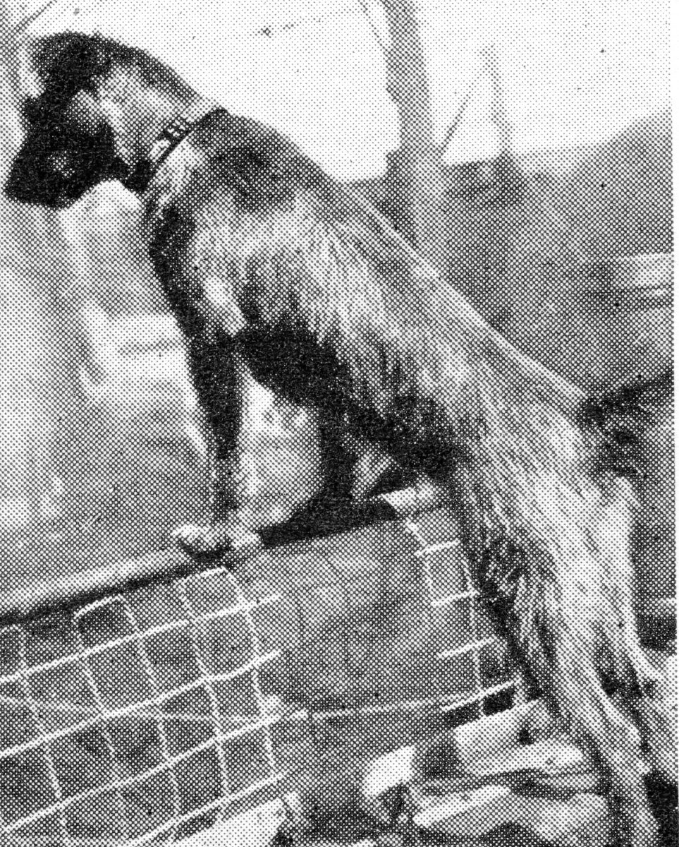 """Biddy,"" a mascot which went through Heligoland and Dogger Bank fights."