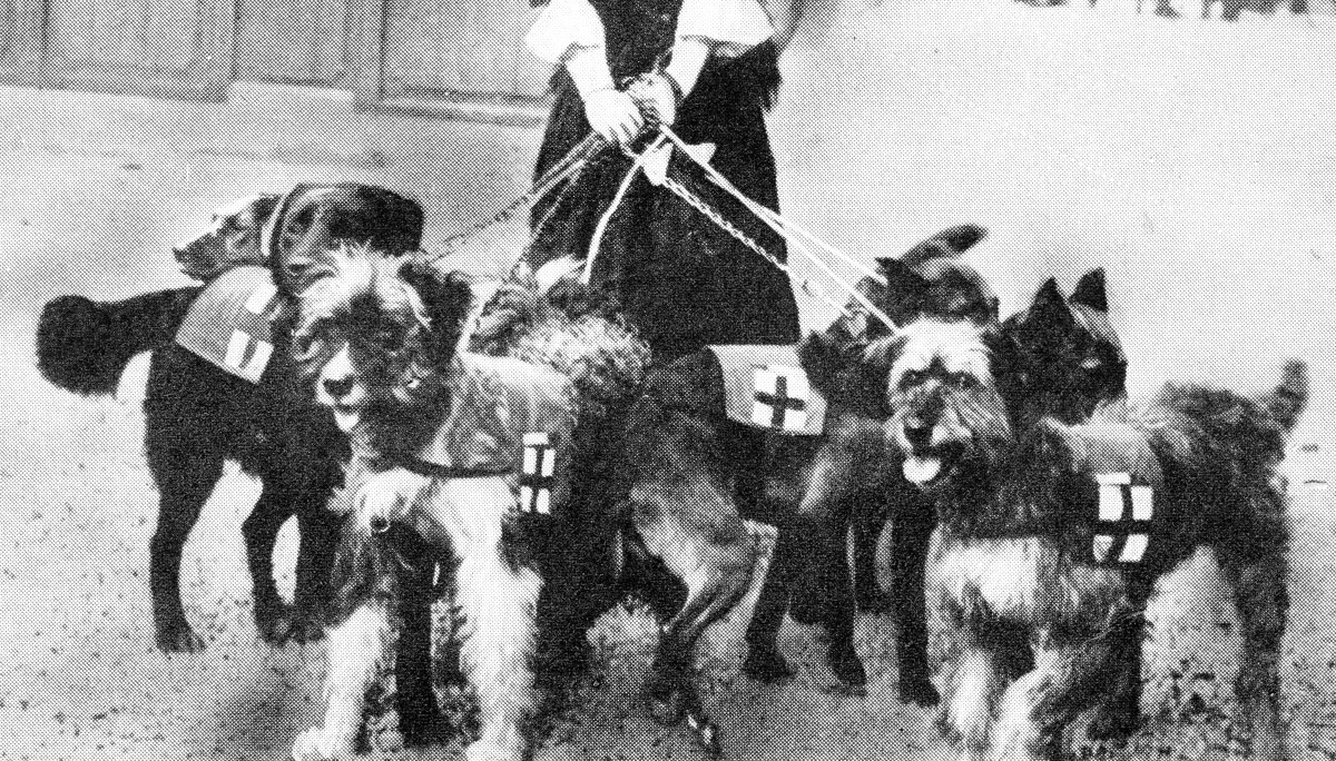 Some of the French war dogs that were mentioned in despatches for their services in finding the wounded and acting as scouts and publicly decorated with gold collars.