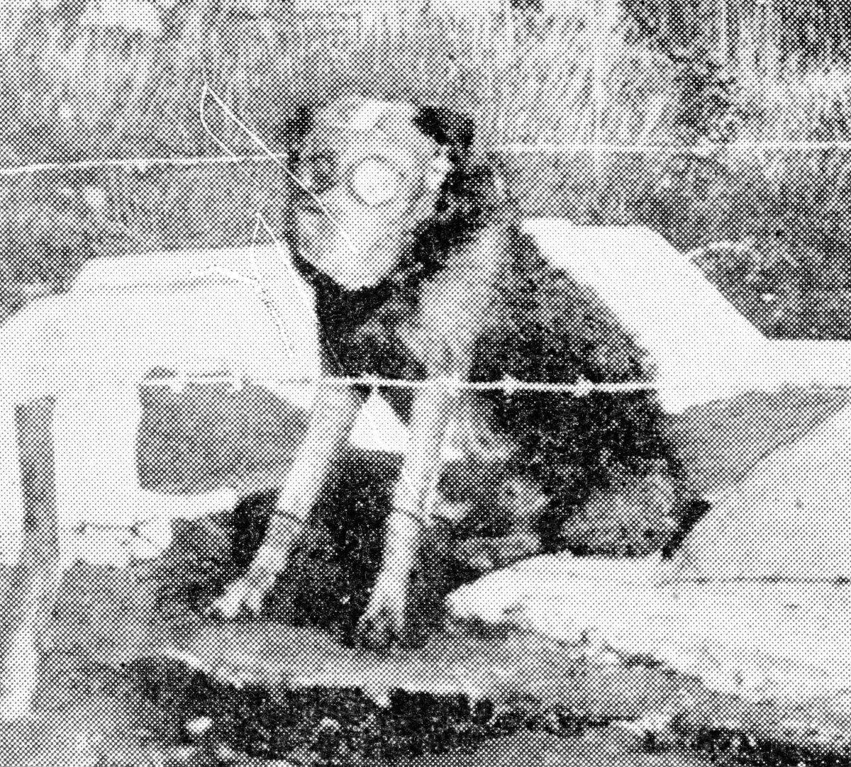 Numbers of Major Richardson's famous Airedales were on active service with the Army, and, as shown in this photograph of a dog on sentry duty by the graves of two soldiers, were provided with gas-masks.