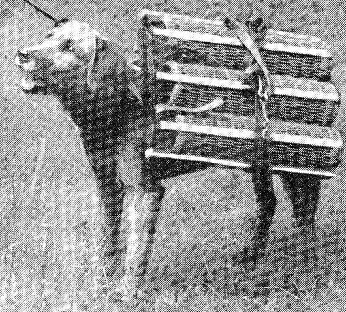A dog of war. Airedale terrier trained to carry a load of shells for the use of the light field artillery.