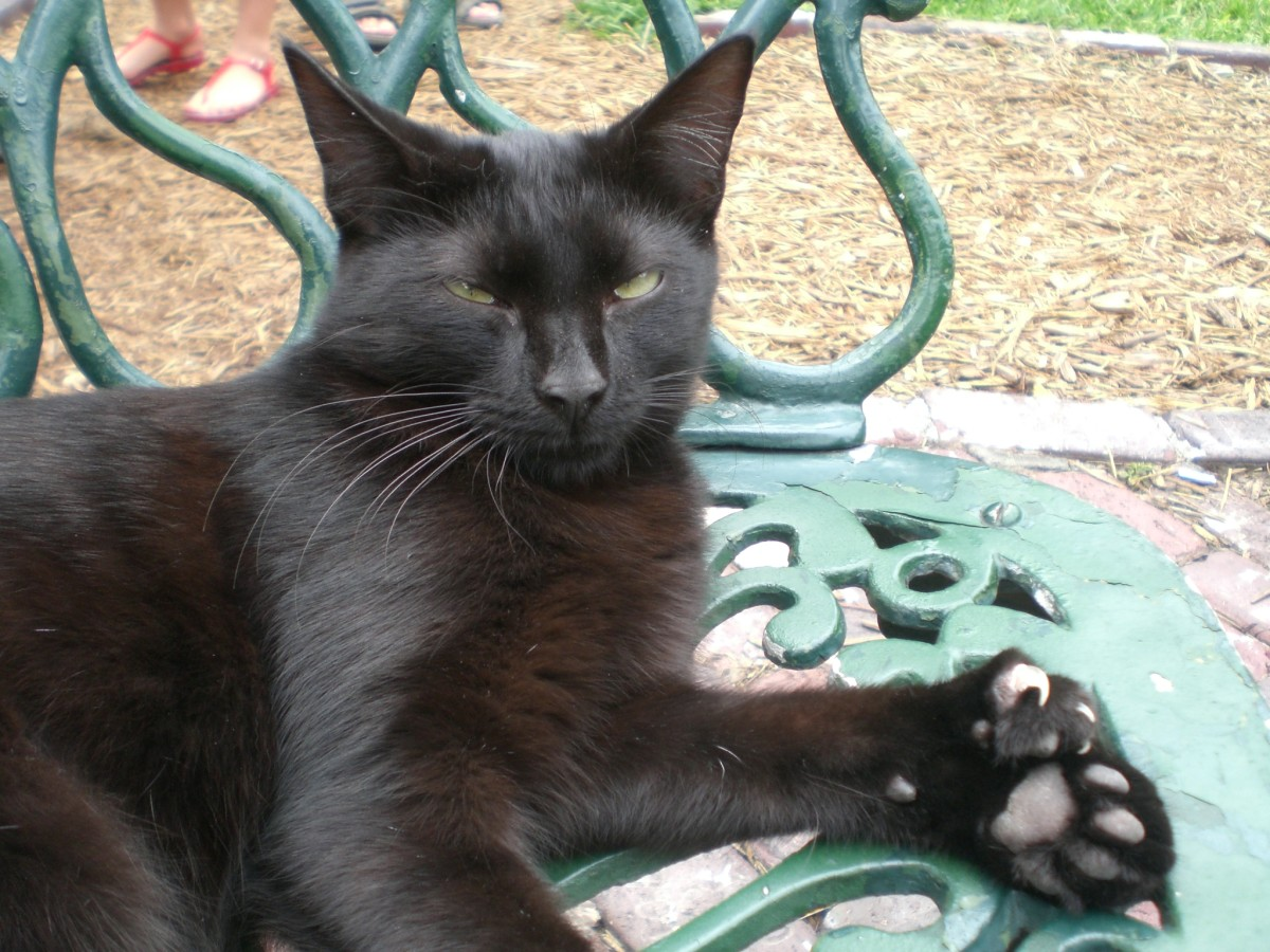 """Polydactyl cats, also called """"Hemingway"""" cats, have six or more toes.  This produces a mitten effect."""