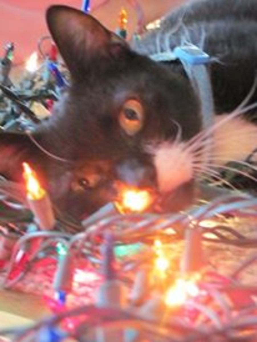 This is Shep, taking the beauty of the Christmas lights in as we decorated the tree.
