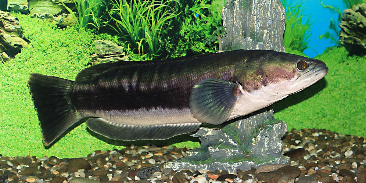 The giant snakehead
