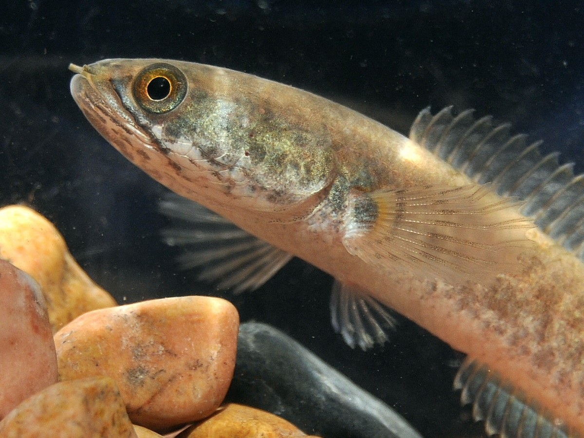 Channa gachua, the dwarf snakehead