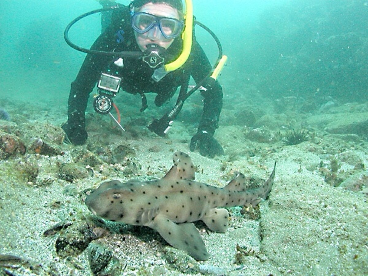 Divers can often get close to California horn sharks. This is often—but not always—safe.