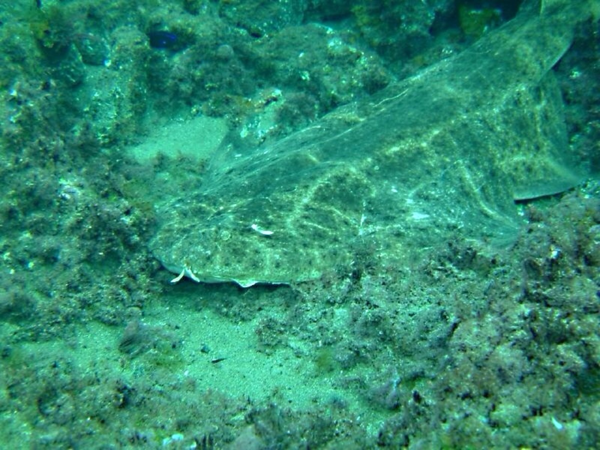 An angel shark blending in with its background