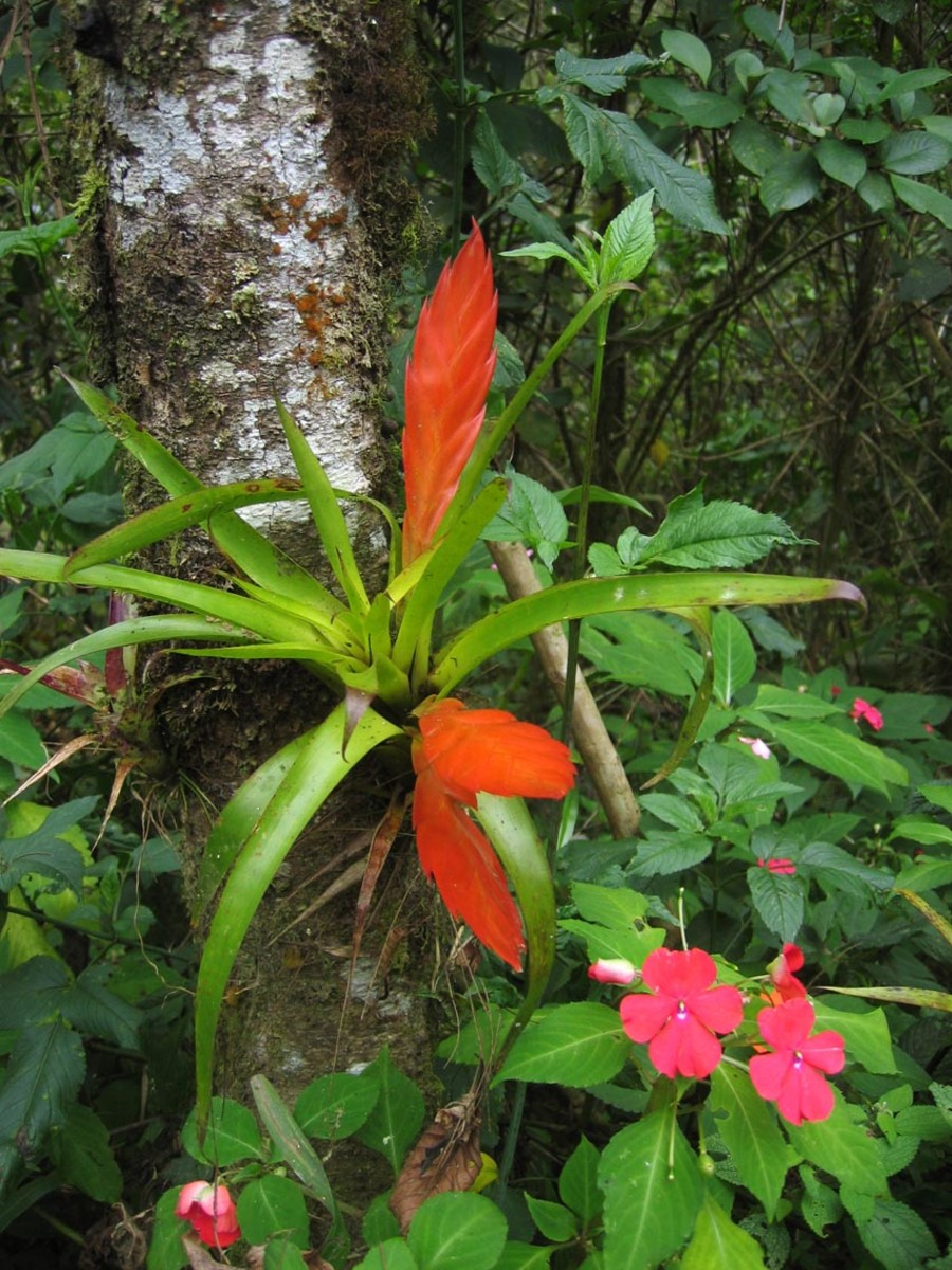 Red Flat Epiphytes