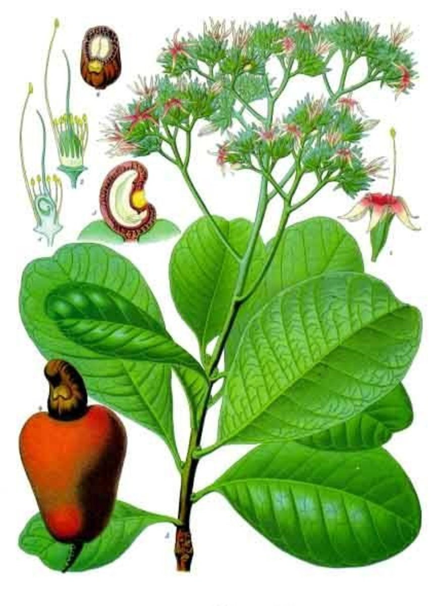 Beautiful, early drawing of domesticated Cashew leaves, flower and fruit.