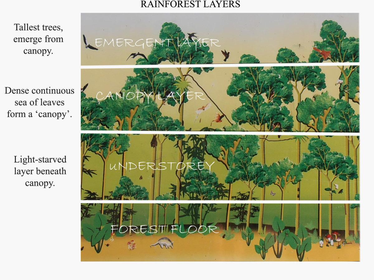 Rainforest layers.