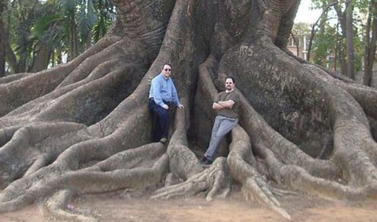 Powerful buttress roots of a Kapoc Tree