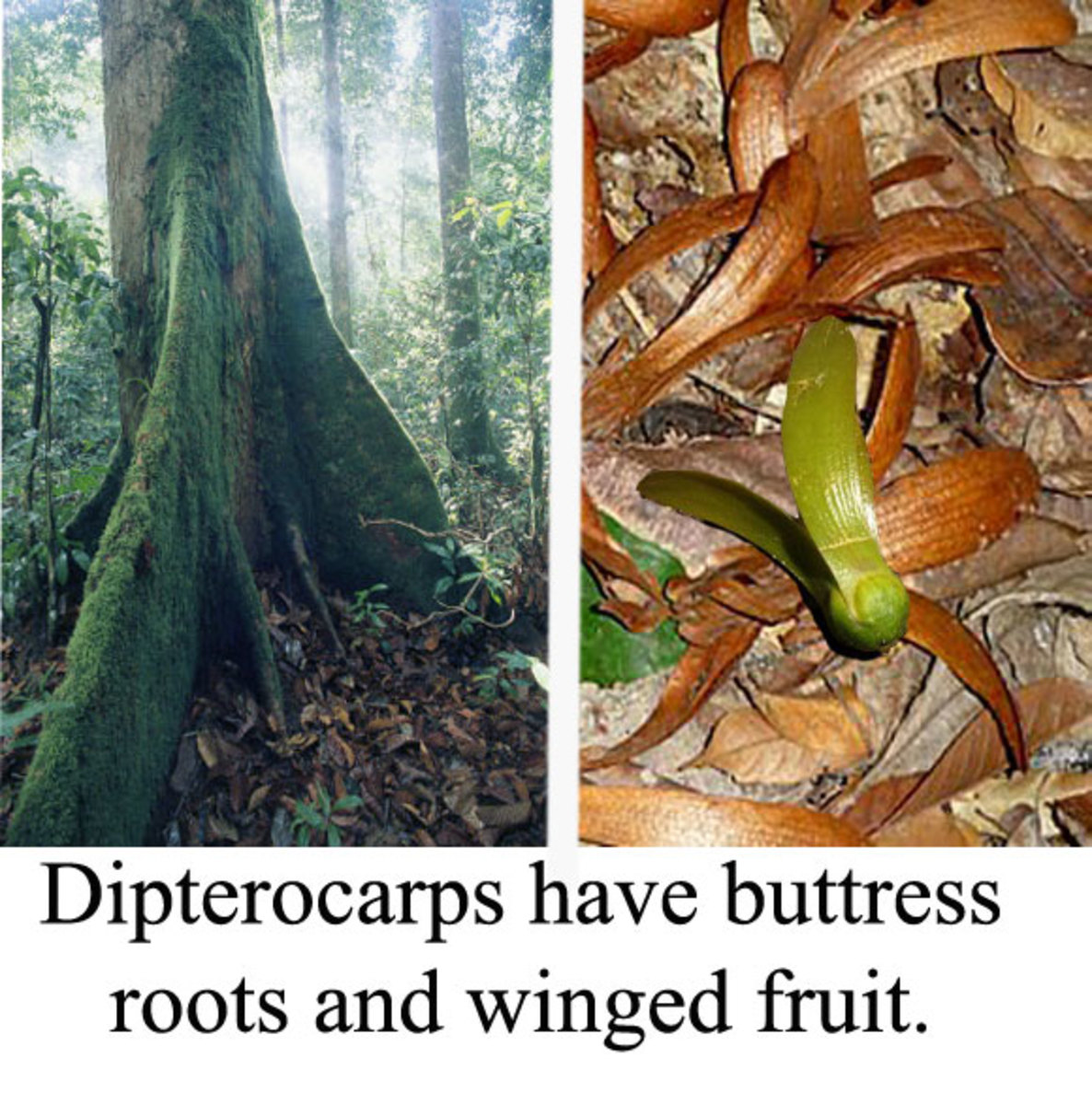 Useful clues to identify a dipterocarp at ground level.