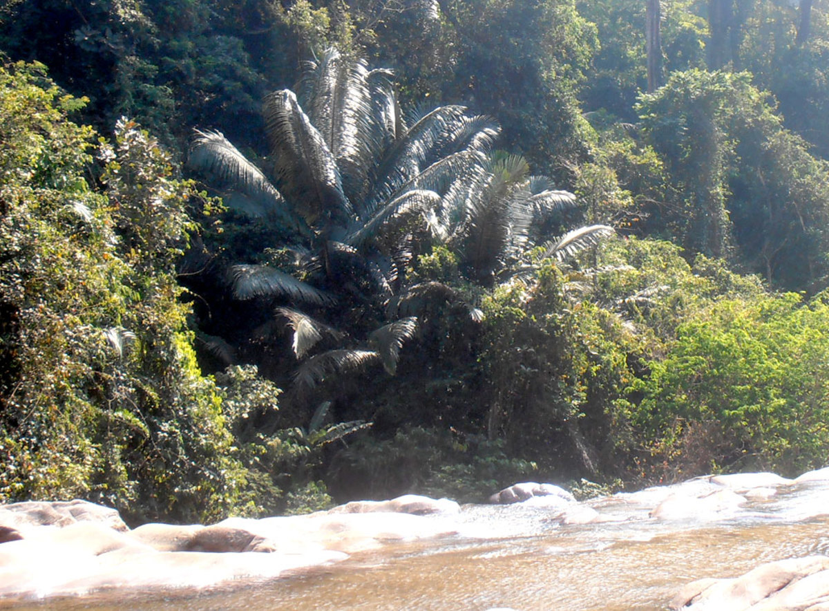 Oil palm (center) growing wild beside a river in Thailand.