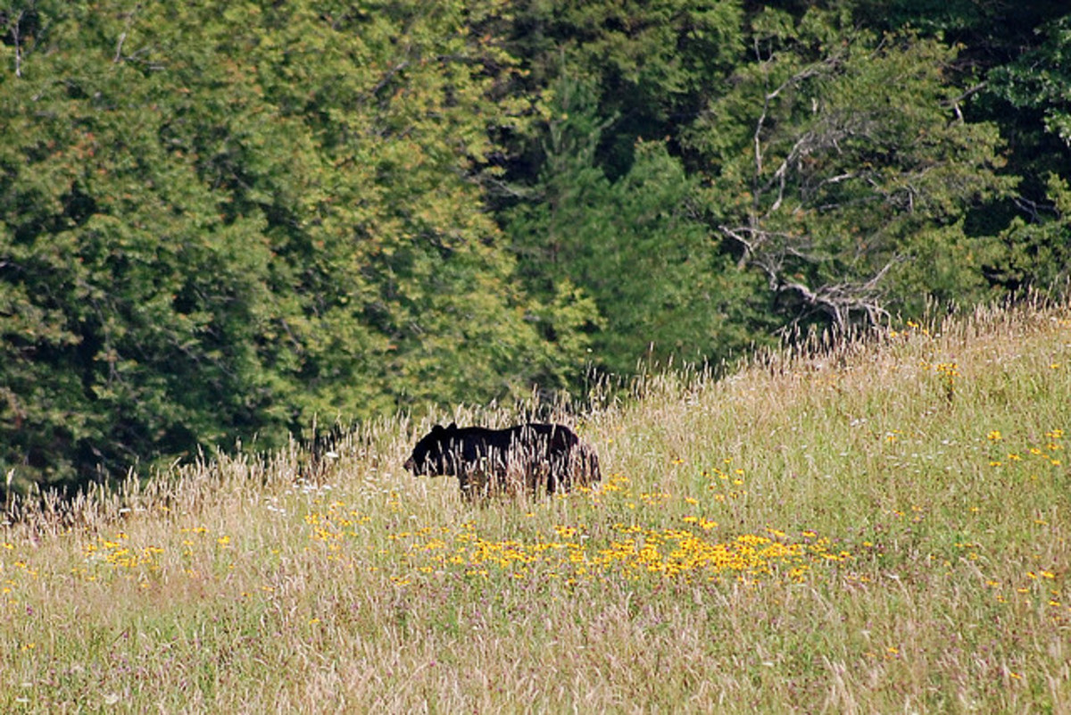 Running down a hill will not aide in your attempt to avoid a black bear. Bears can run, walk and climb on all varieties of terrain.