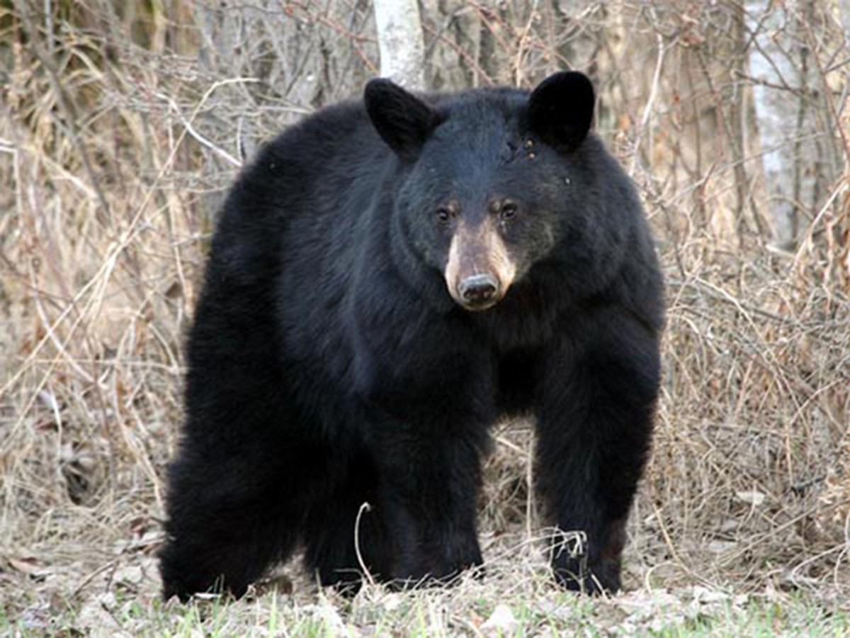 The Black Bear is the second largest mammal found in Algonquin Park, smaller only than the Moose. The average female Black Bear weighs between 45-70 kilograms. (99-154 lbs.) The largest Black Bear recorded in the park was a male & weighed 502 lbs.
