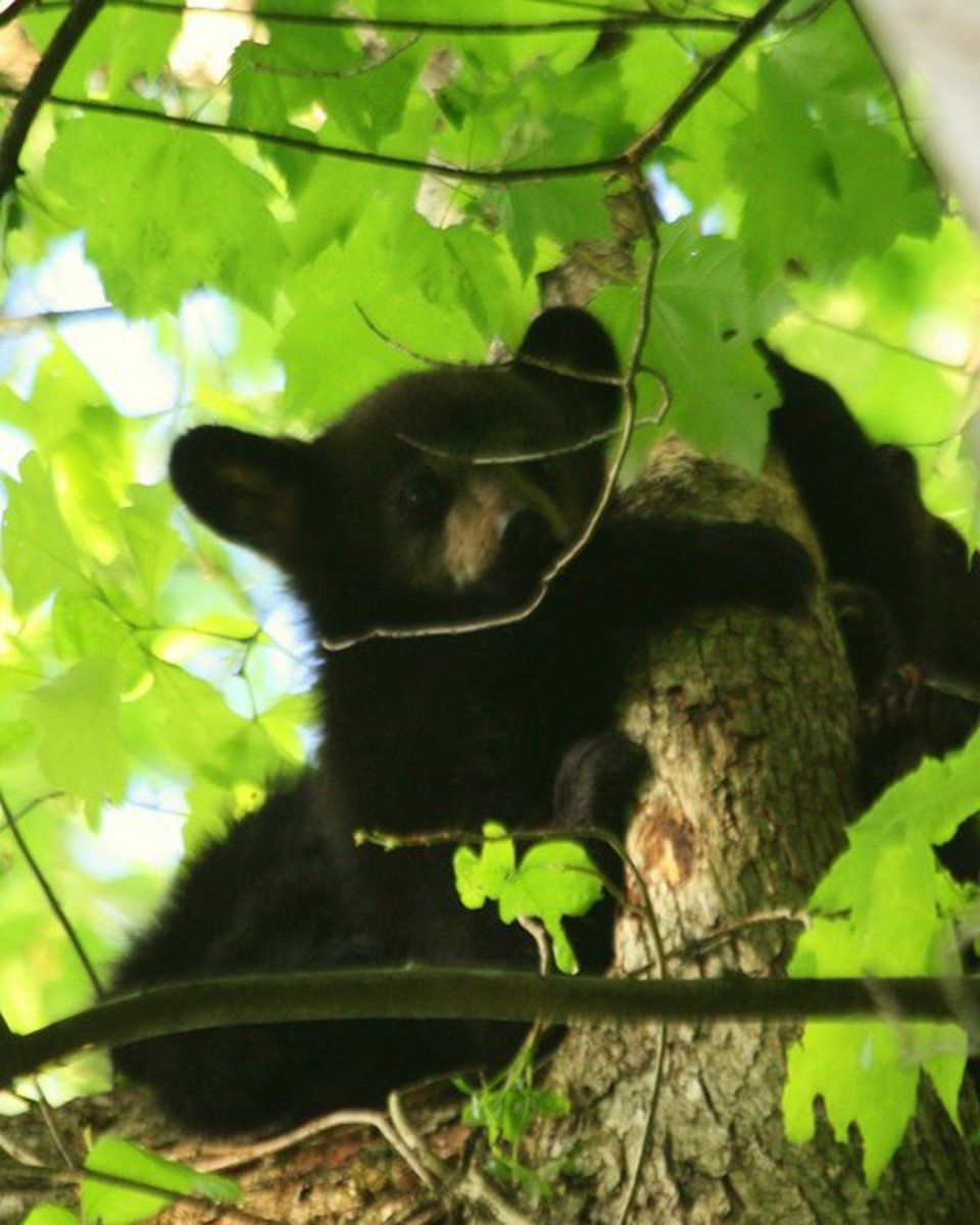 Many people believe you should climb a tree if faced with a black bear. This is method works (sometimes ) for Grizzly Bears, NOT Black Bears. Unlike the Grizzly, Black Bears are incredibly good at climbing trees.