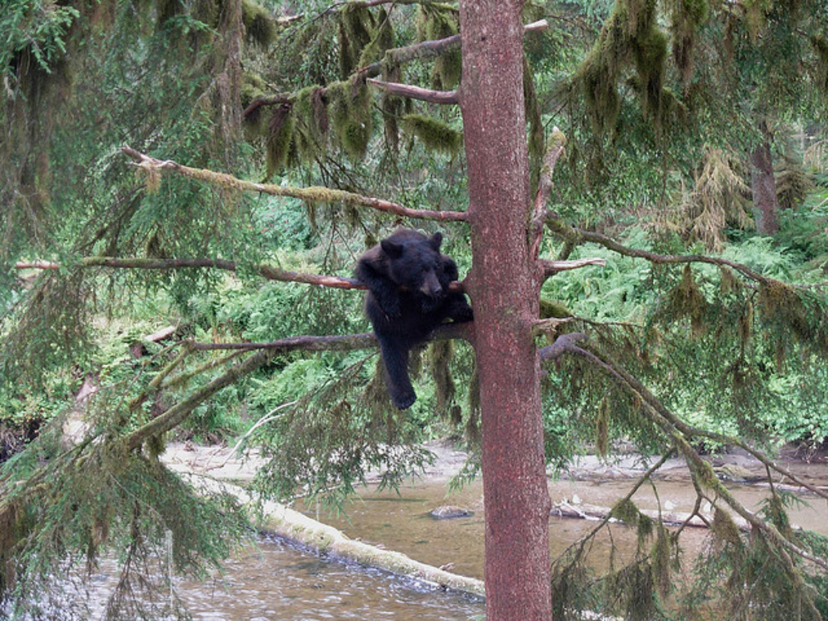Black Bears are omnivores. (This means they will eat anything they can get) 95% of a Black Bears diet comes from plant matter. They have been known to climb great heights for food.