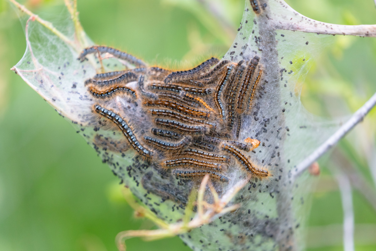 Western Tent Caterpillar Nest