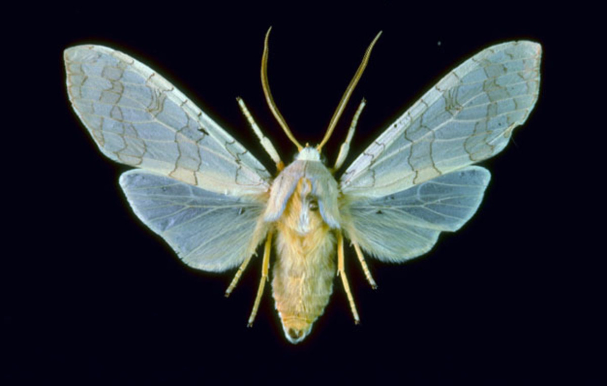 Halysidota harrisii Moth