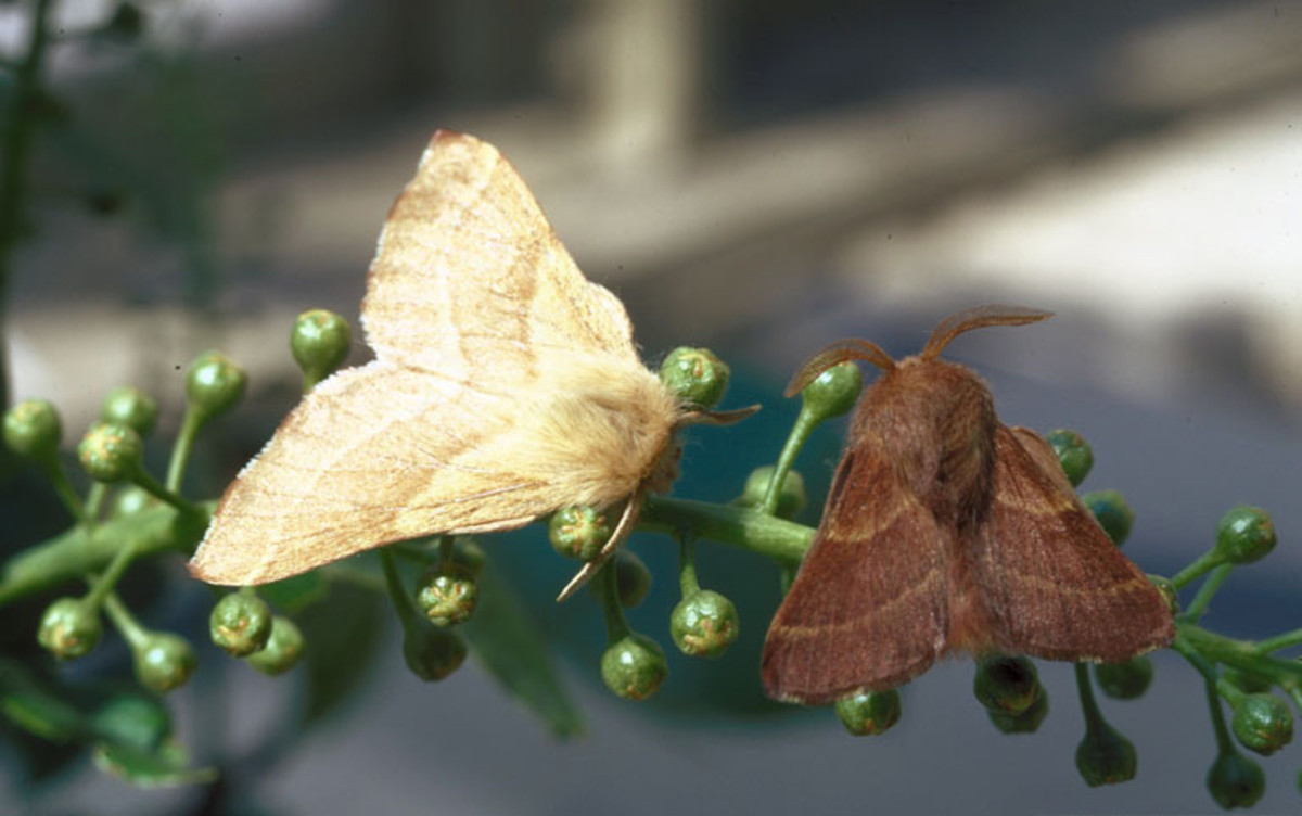 Female (left) and male (right) Western Tent Caterpillar Moths
