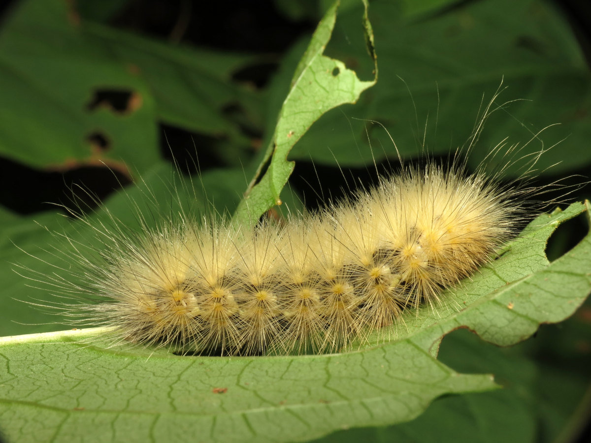 Yellow Woolly Bear