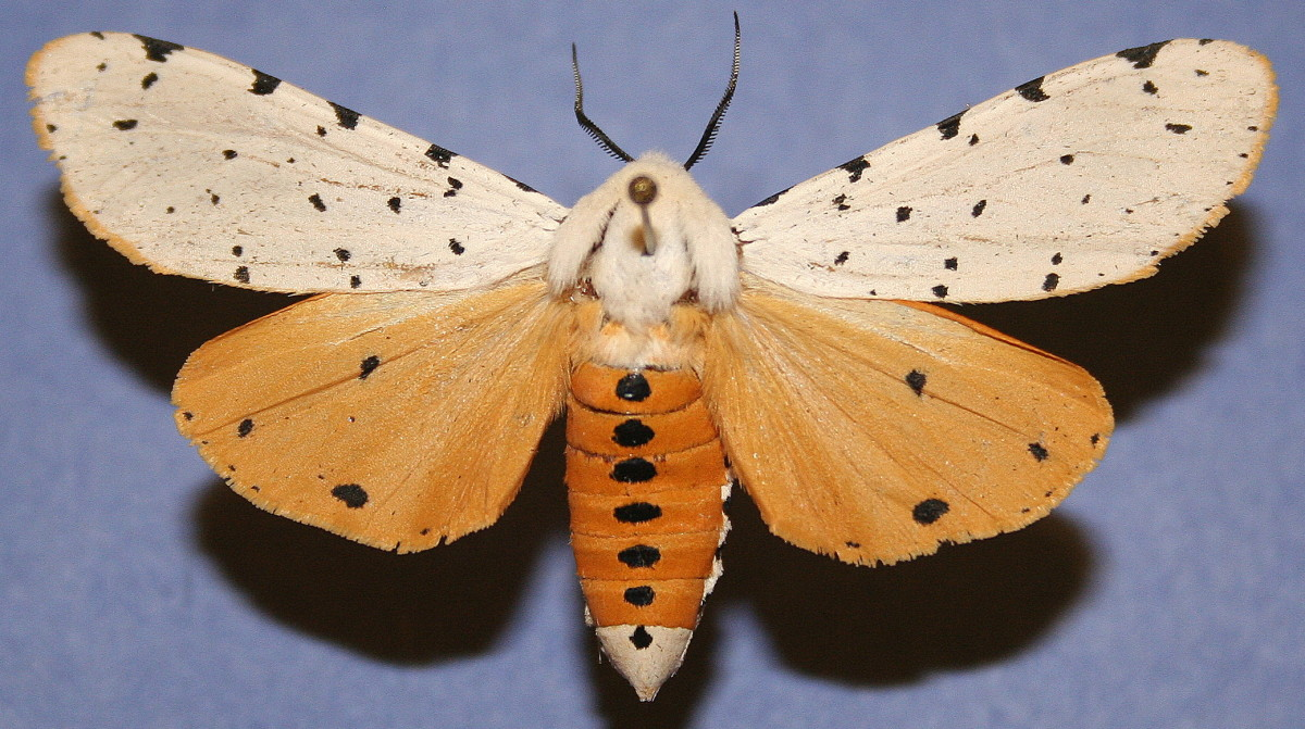 Salt Marsh Moth