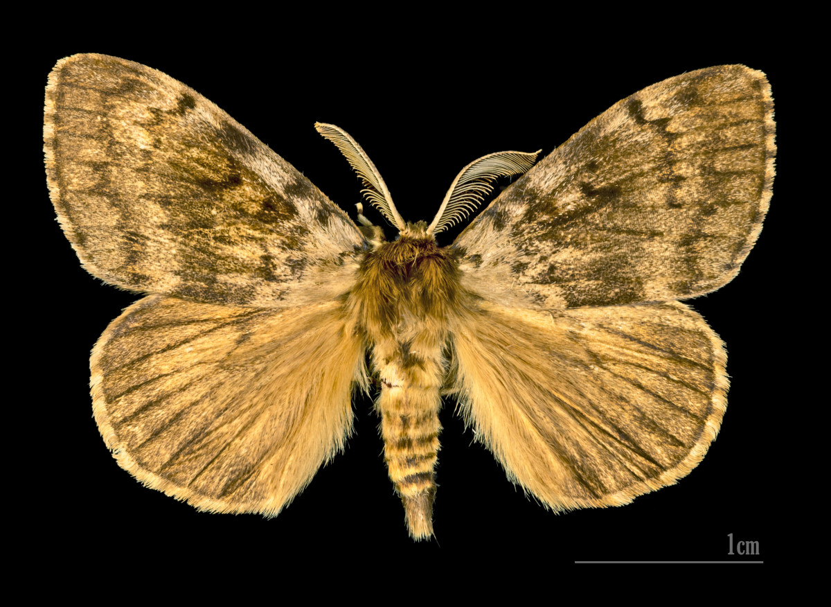 Male European Gypsy Moth