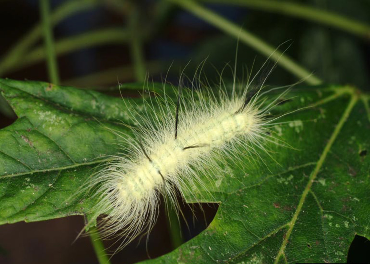 Green hairy caterpillar
