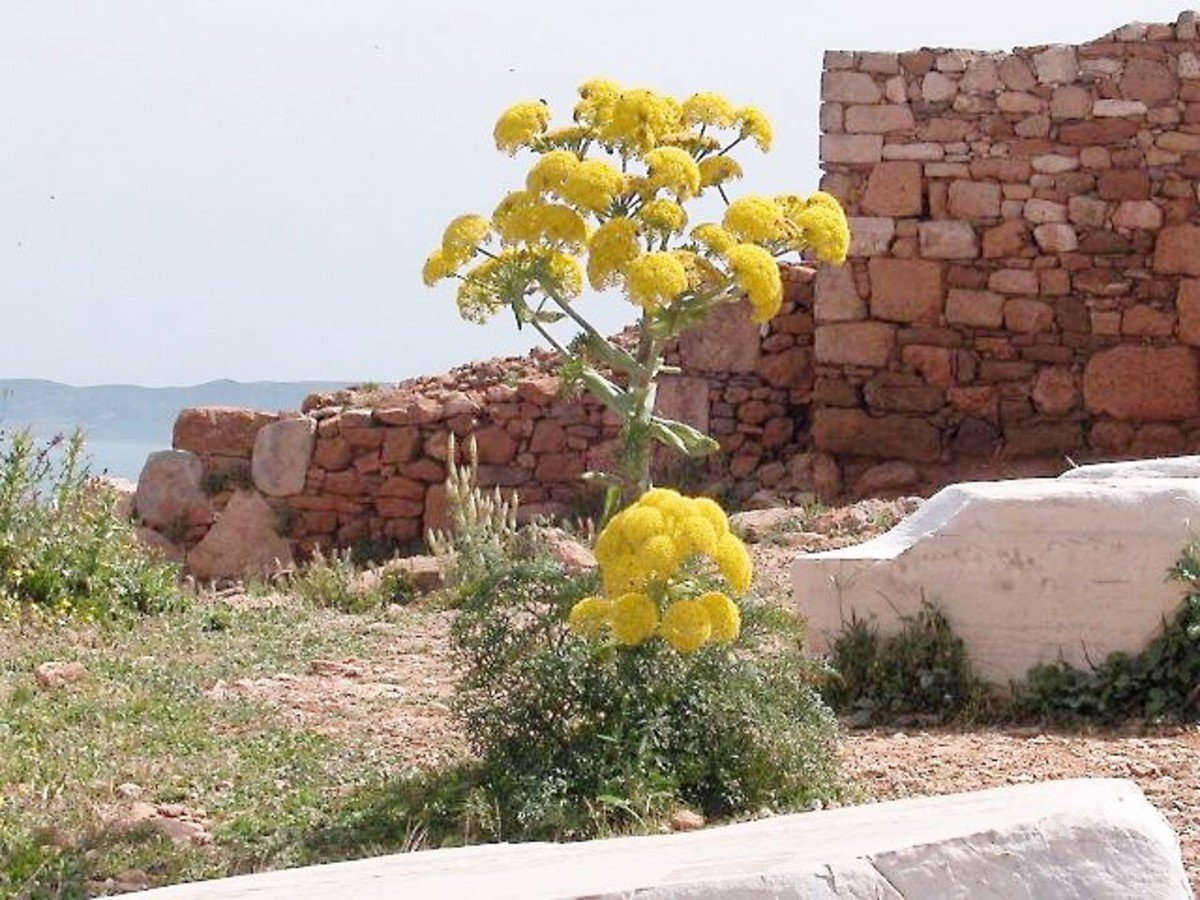 In the past, the giant fennel (Ferula communis) was used to make a thyrsus.